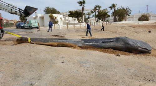 This Sperm Whale Was Found Dead With 64 Pounds Of Trash In Its Digestive System