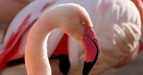 Zoo Forced To Euthanise Flamingo After Child Hits It With Rock