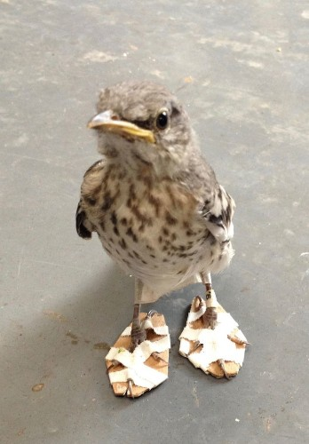 Injured Mockingbird Given Pair Of Wee 'Snowshoes' To Heal Its Feet