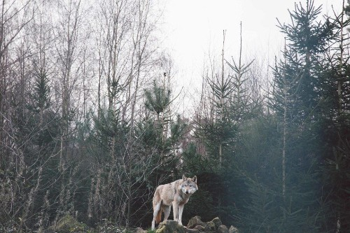 Photographer's Travel Date With Wolves Is Completely Surreal