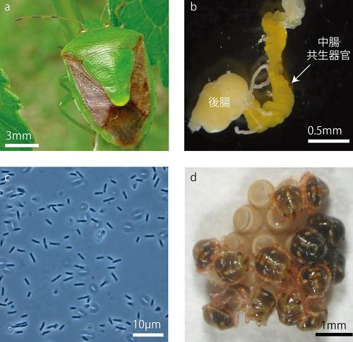 カメムシの腸内共生細菌は進化の途上 ─共生細菌の進化プロセスの謎に迫る