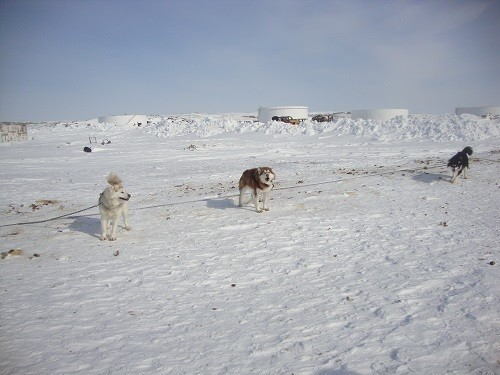 Dog Sledding in Nunavut, Arctic Canada: Nanook of the North on the Looney Front -- Part 2