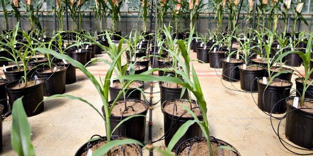 China's Rejection Of GMO Corn Has Cost U.S. Up To $2.9 Billion
