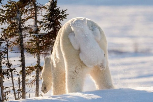 Cheeky Cub Clings To Polar Bear Mom During His First Time In Snow