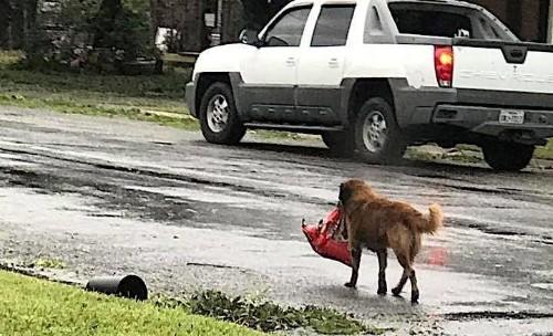 Resourceful Dog Walks Away With Bag Of Dog Food After Hurricane Harvey