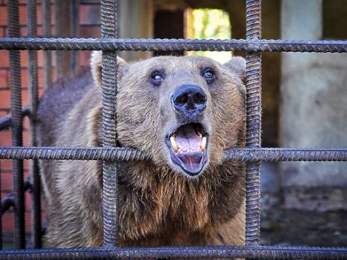 Why Two Russian Bears Are Symbolic of the Suffering That Millions of Wild Animals Face on a Daily Basis, Around the World