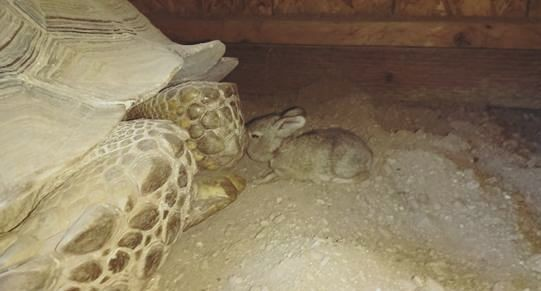 Tortoise Takes In Baby Bunny On Cold Night, Begins Beautiful Friendship