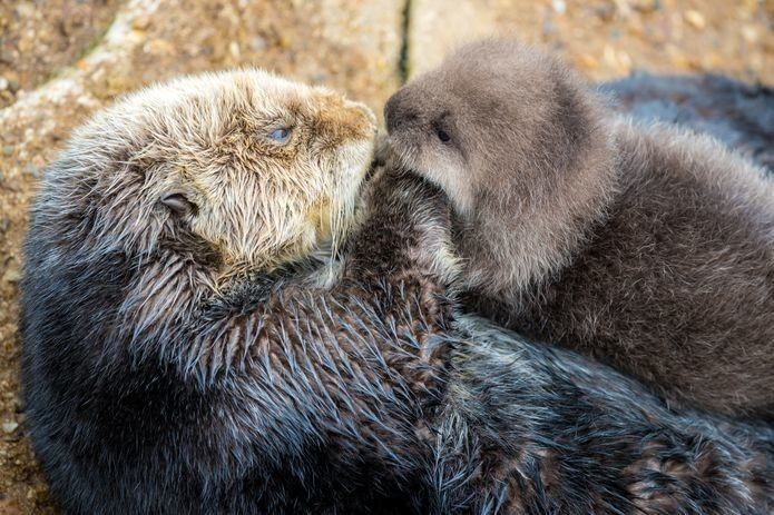 Wild Otter Swims Into Aquarium's Tide Pool, Gives Birth To Adorable Pup