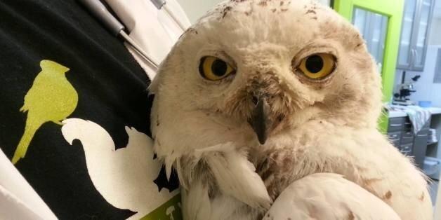 D.C.'s Famous Snowy Owl Found Dead In Minnesota