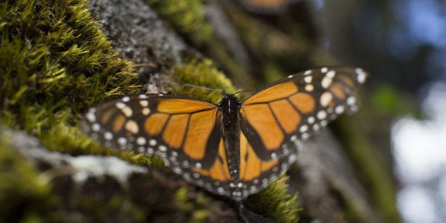 Government Pledges $3 Million To Save Monarch Butterfly