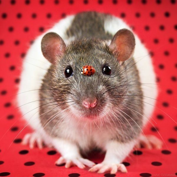 This Photographer Fights Rat-Phobia With Irresistibly Cute Pictures