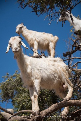 The Luxurious Poop From These Tree-Climbing Goats Produces Argan Oil