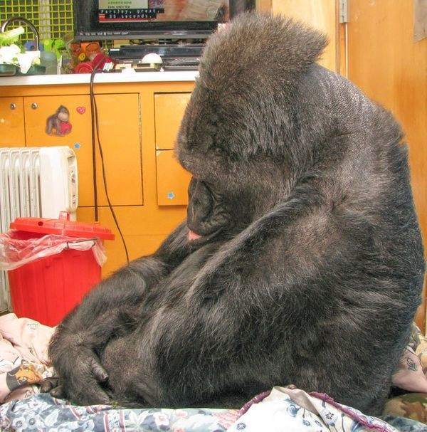 Koko The Gorilla Misses Robin Williams (So Do We, Koko)