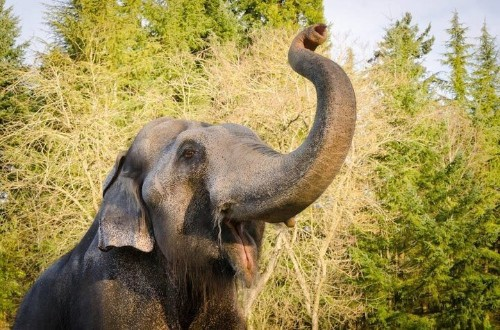 Continent's Oldest Male Asian Elephant Is Euthanized After TB Battle