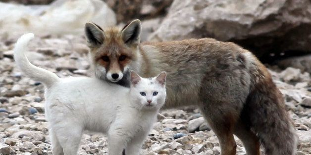 Somewhere In Turkey, A Wild Cat And A Fox Are Best Friends
