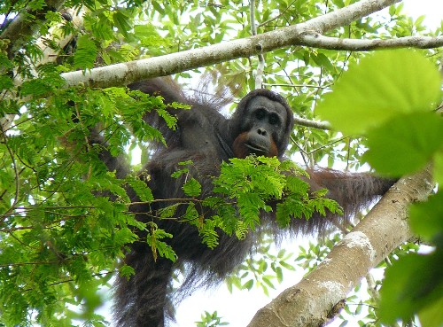 The Last Tree for Orangutans