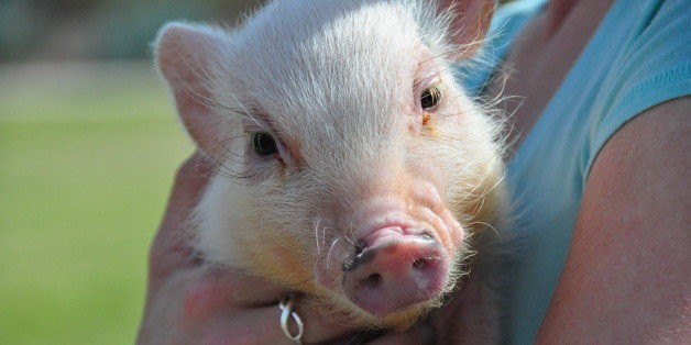 Pigs Are Highly Social And Really Smart. So, Um, About Eating Them...