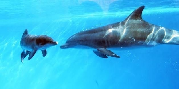 Dolphin In Captivity May Be First Discovered To Communicate With Baby In Womb