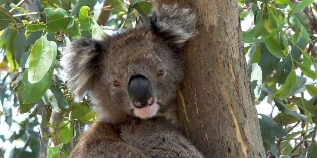 Koalas Hug Tree Trunks To Stay Cool In Hot Weather, Study Shows