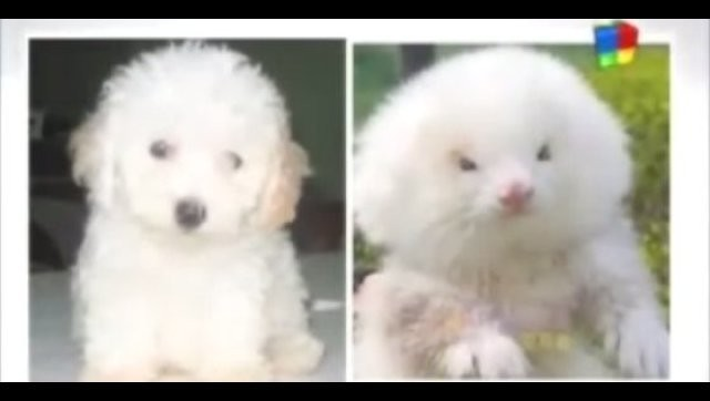 Ferrets Sold As Toy Poodles: Argentina Pet Dealers Reportedly Selling Weasels On Steroids (PHOTO)