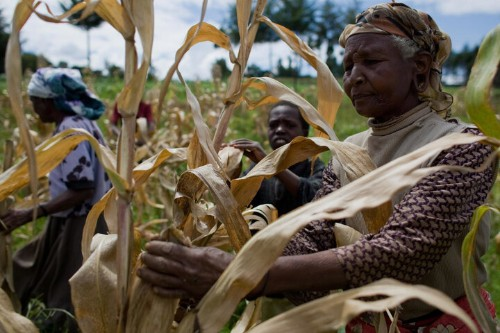 Corn Producing 50 Percent More Kernels Could Be Key To Ending Hunger