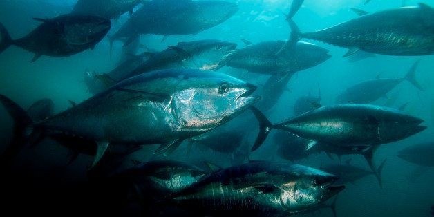 Tuna Hearts Likely Damaged By Gulf Oil Spill Disaster: Scientists