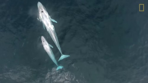 Incredible Rare Footage Of A Whale Nursing Her Calf Makes A Splash
