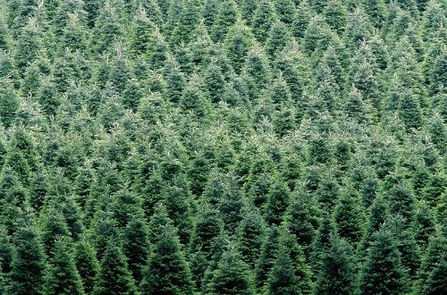 Real Christmas Trees Or Fake Ones -- Which Are Better For The Planet?