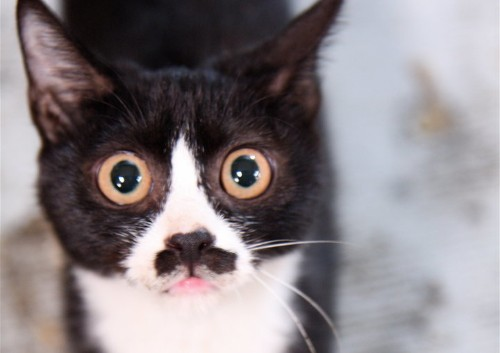 The Science Behind How Cute 'Tuxedo' Cats Get Their Patchy Fur