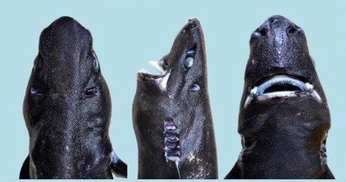 Why This Newly Discovered Shark Is A Real Ninja