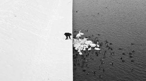 Marcin Ryczek's Photo 'Man Feeding Swans' Captures A Real-Life Yin Yang (PHOTO)