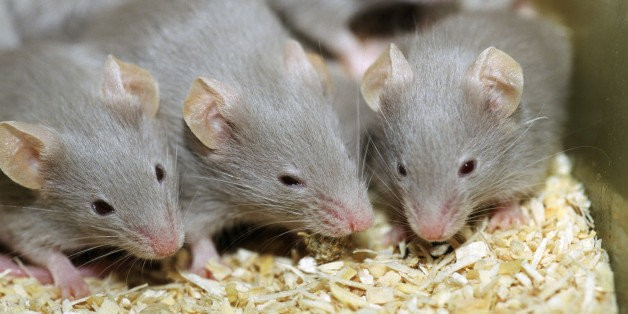 Blocking Pain Receptors Extends Lifespan, Mouse Study Suggests