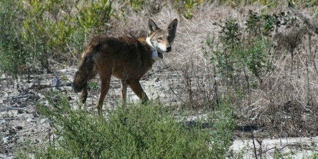 This Endangered Wolf Is Now Even More Endangered