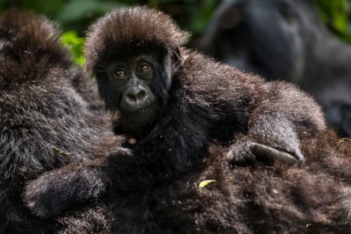Zookeepers Aren't The Biggest Threat To Gorillas. We Are.