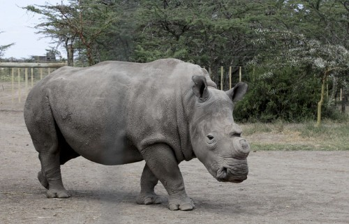 There Are Now Only 4 Northern White Rhinos Left On Earth