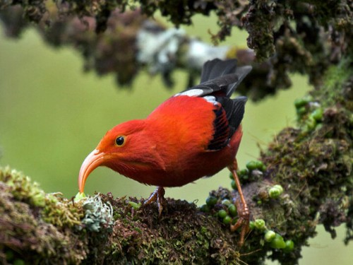 Study Predicts Grim Future For Hawaii's Rarest Forest Birds