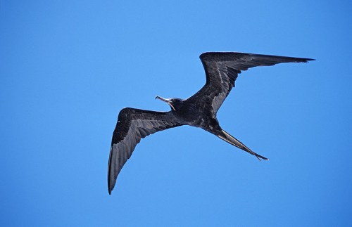 You Won't Believe How Long This Amazing Bird Can Stay Aloft