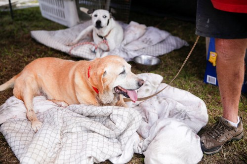Volunteers Rescue Hundreds Of Animals From Hawaii Lava