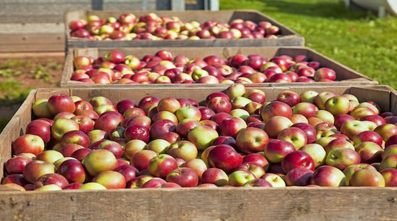 5 Places to Go Apple Picking Near NYC