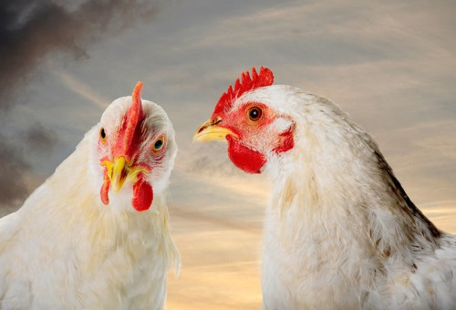 Burger King Vows To Stop Buying Chickens From Animal Abusers | HuffPost Life