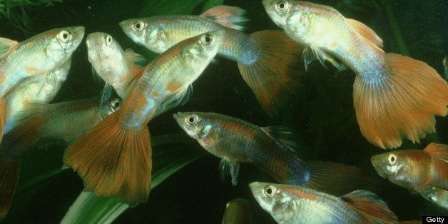 Guppies Can Reproduce AFTER Death, New Study Finds