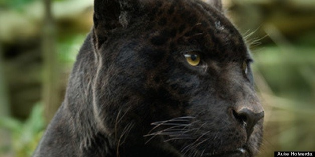 Africa's Elusive Big Five: The Animals Guides Most Want to Spot   HuffPost Life