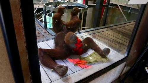 Orangutans Learning To Play Xbox To Fight Boredom In Zoo