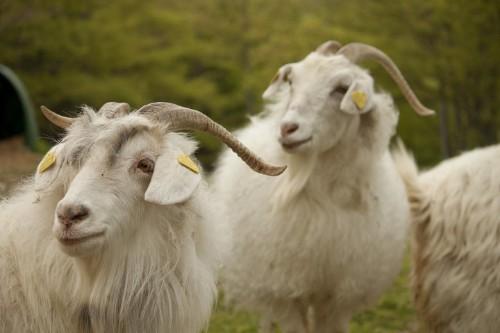 The U.S. Military Spent Millions Bringing Nine Italian Goats To Afghanistan