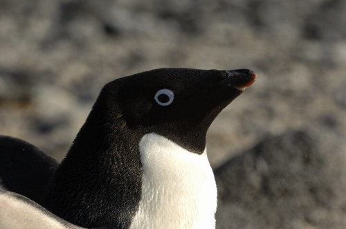 An Iceberg The Size Of Rome May Have Killed 150,000 Penguins (UPDATE)