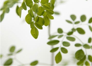 Why We Should Learn More About Moringa