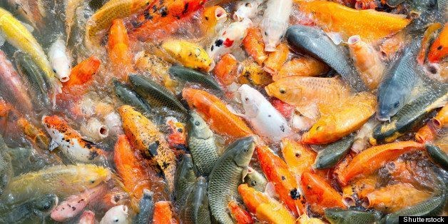 Farmed Fish Production Overtakes Beef For The First Time In World History