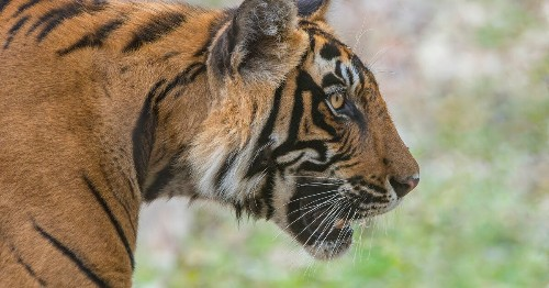 Bengal Tiger Will Not Be Euthanised After Attacking Rescue Charity Boss