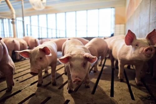 Sales Of Livestock Antibiotics Are Still Growing