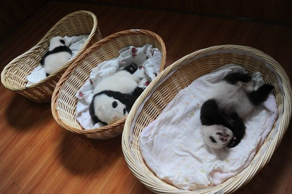 Baby Pandas In Baskets Are Your Daily Cuteness Delivery